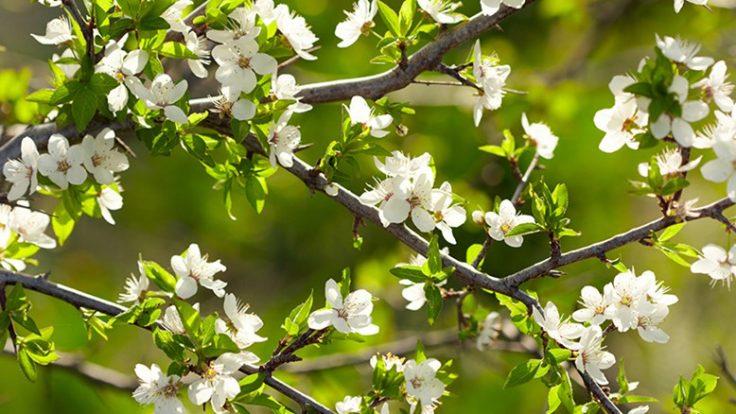 Çiçekli Ağaç