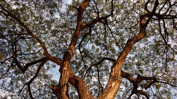 Ağaçlı Gökyüzü